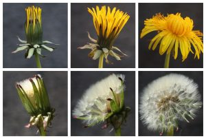 Dandelion Sequence