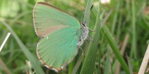 Green Hairstreak 2x1