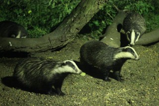 Badger crop