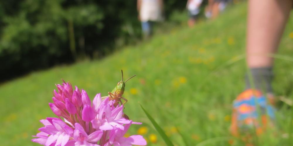 GrasshopperOrchid