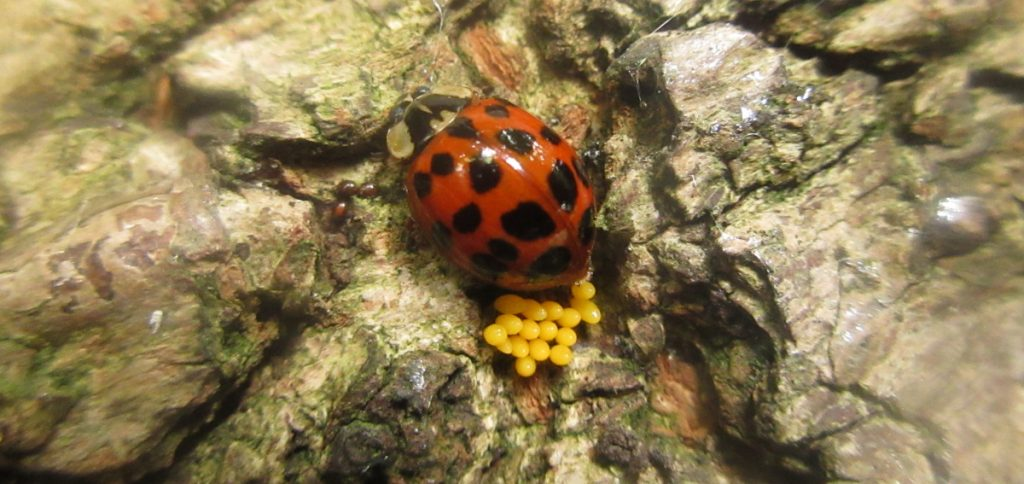 Ladybirdlaying