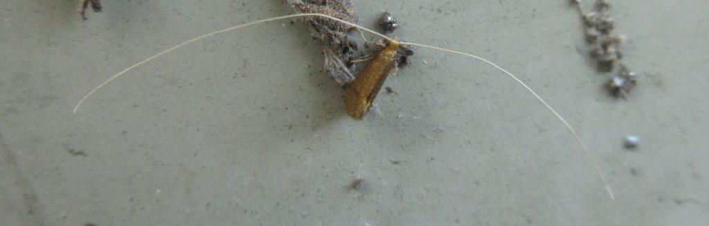 Moth Whisker