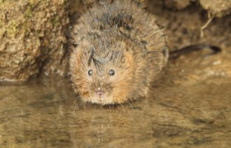 Water vole just emerged from underwater