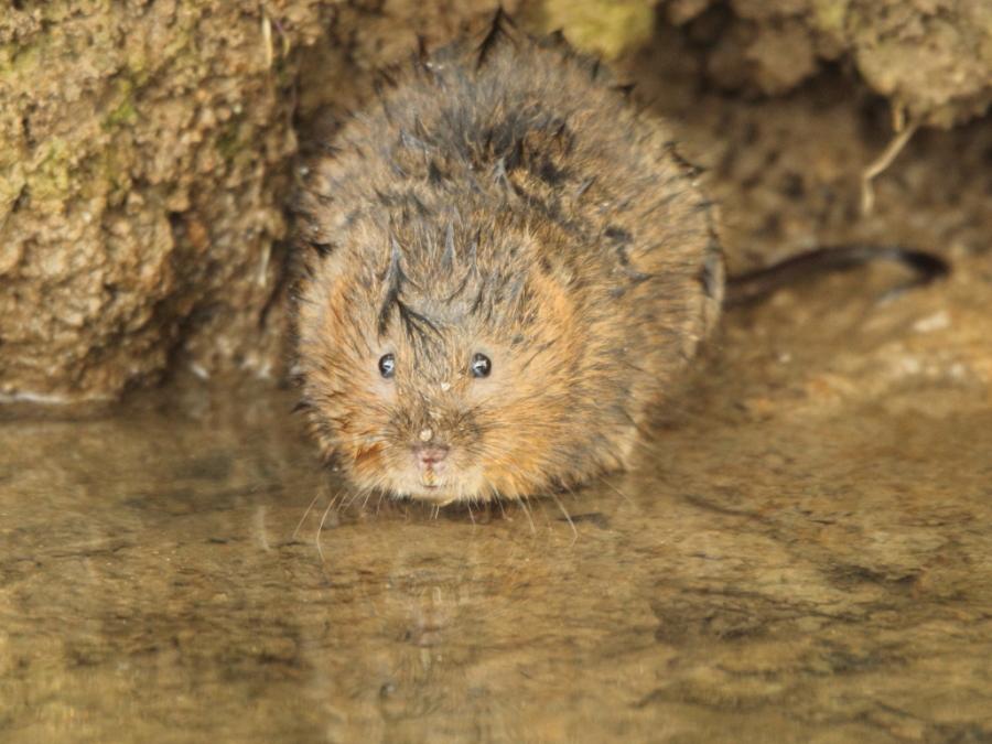 Water vole just emerged from underwater