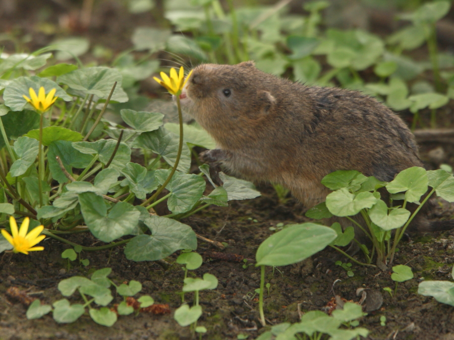Female vole selectively  eating celandine flowers