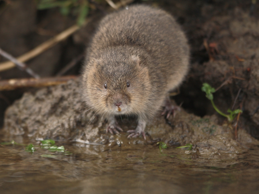 Water vole on water's edge