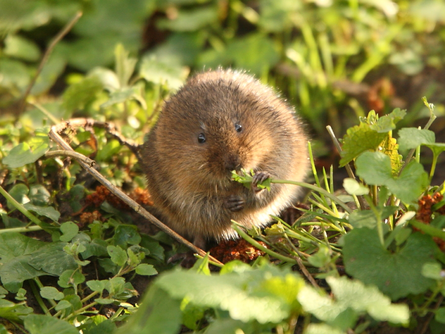 Newly emerged young water vole