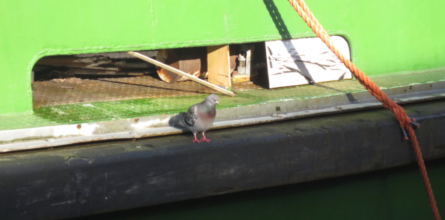 Boat Pigeon Wk6