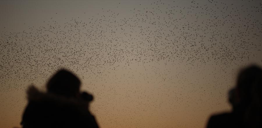 Starling watchers