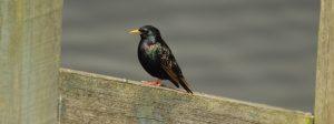 Week17 starling