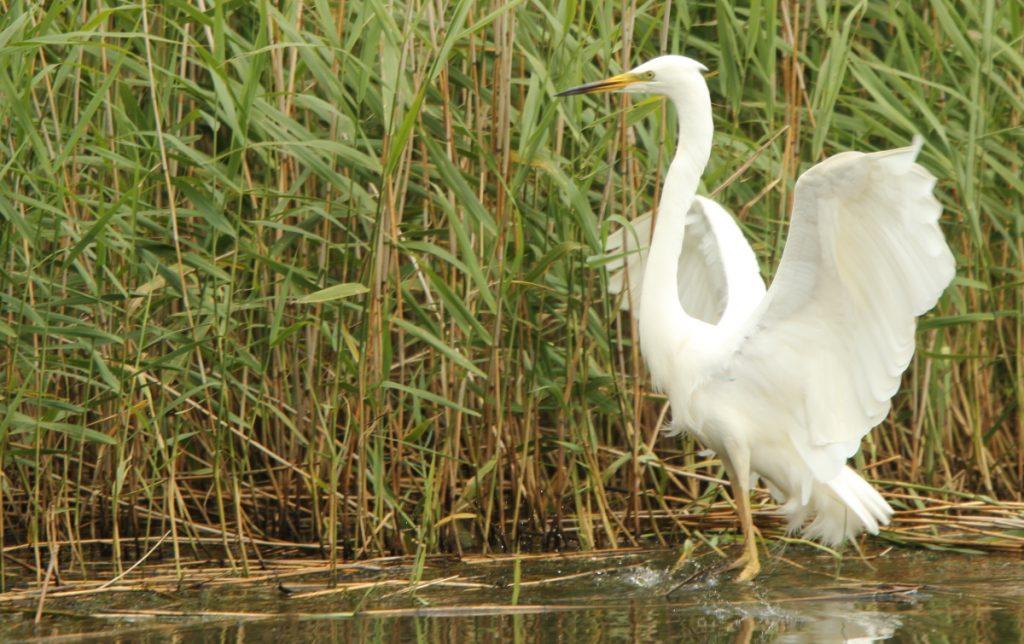 Wk24 Egret
