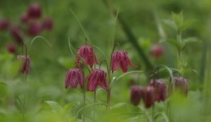 12th April Fritilaries