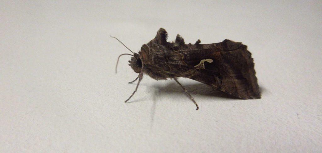 3rd July Moth