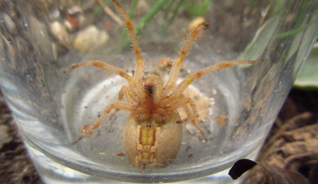 5th August Spider
