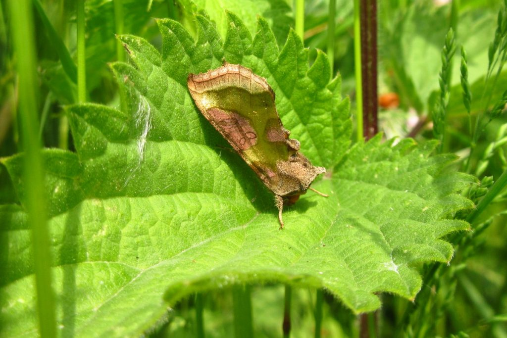 BBOWT Moth