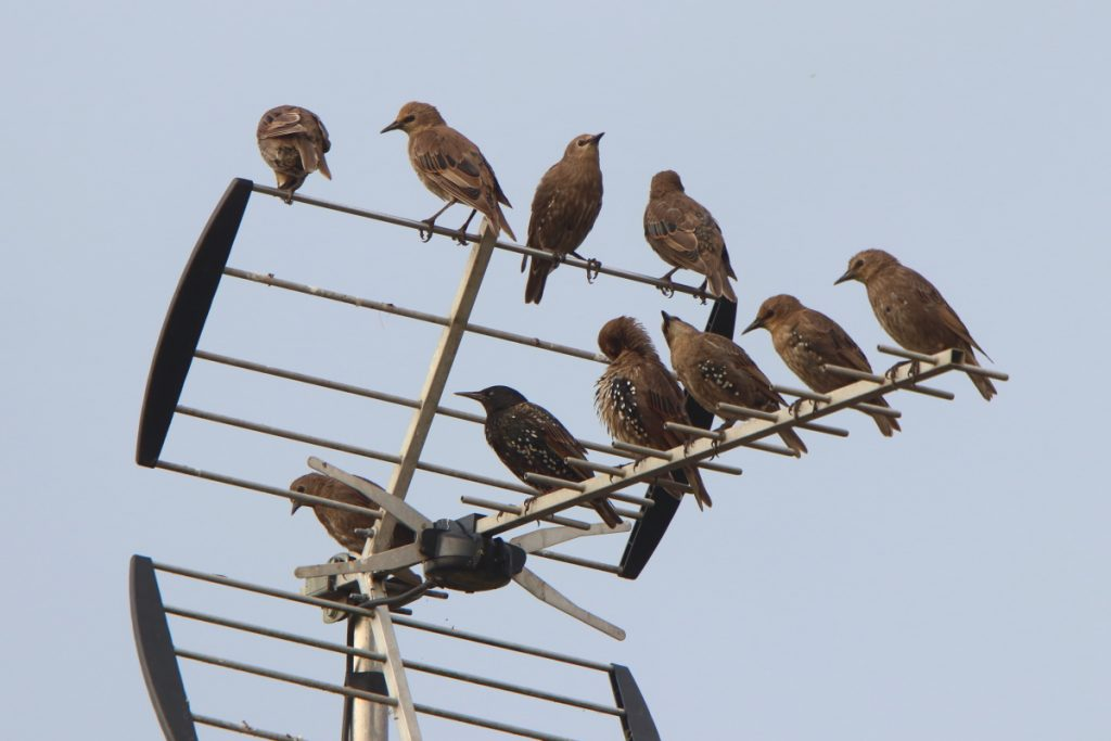 Starling Party
