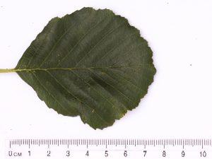 Alder Leaf 2 ID