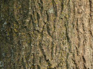 Ash Bark ID