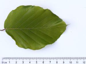 Beech Leaf ID