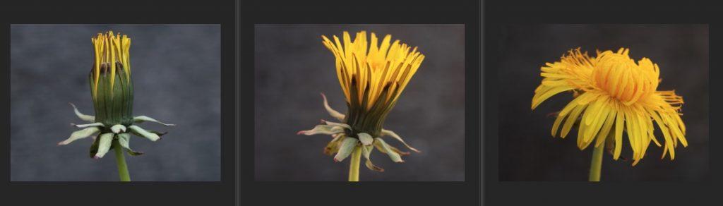 Dandy Flower Seq