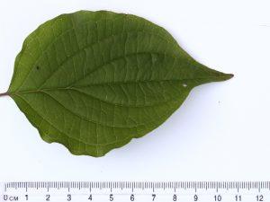 Dog Wood Leaf