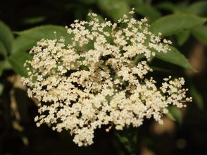 Elder Flower ID