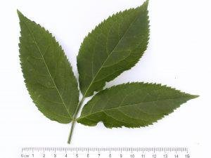 Elder Leaf ID