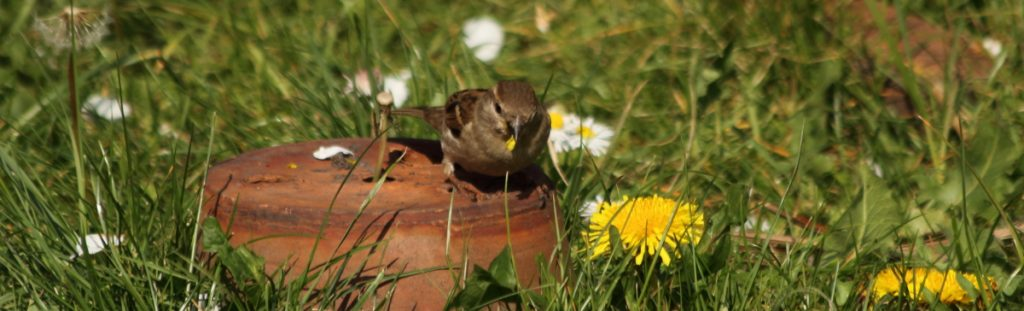 Female Sparrow Dandelion