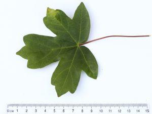 Field Maple ID