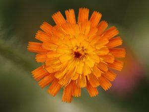Fox & Cubs Flower