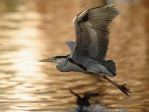 HERON FLYING ppt