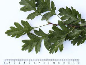 Hawthorn Leaf ID
