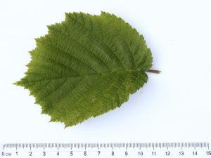 Hazel Leaf ID