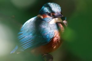 Kingfisher hidden
