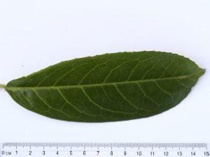 Laurel Leaf ID