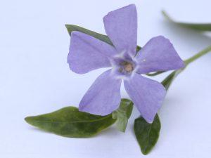 Lesser Periwinkle Flower