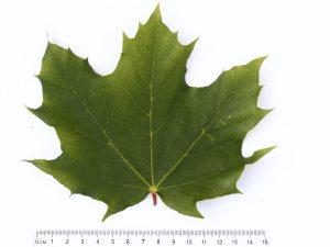 Maple Leaf ID