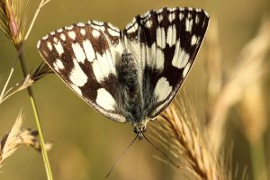 Marbled White3