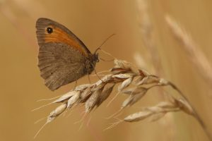 Meadow Brown 1
