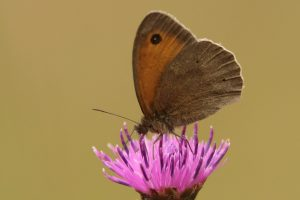 Meadow Brown Side