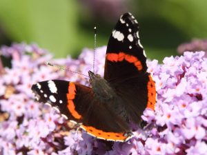 Red Admiral July2017