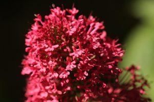 Red Valerian