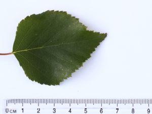 Silver Birch ID