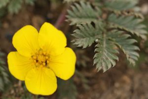 Silverweed3
