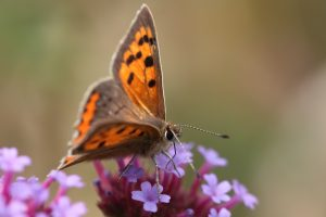 Small Copper2