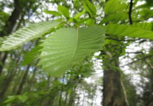 Sweet chestnut forest