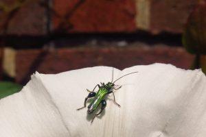 TL Flower Beetle