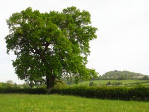 Tree May