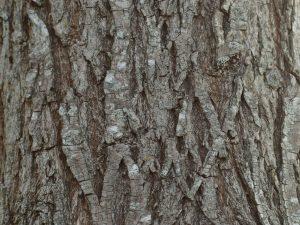 Willow Bark ID