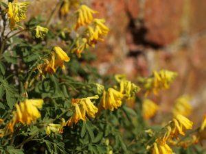 Yellow Corydalis Plant 2